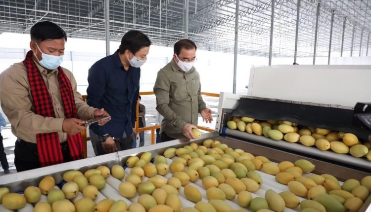 柬埔寨芒果出口中国 (1)