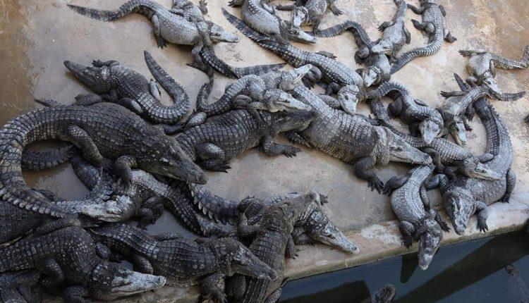 价格一跌再跌,鳄鱼养殖业垂死挣扎