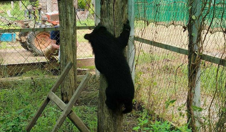 热心村民成功解救亚洲黑熊幼崽